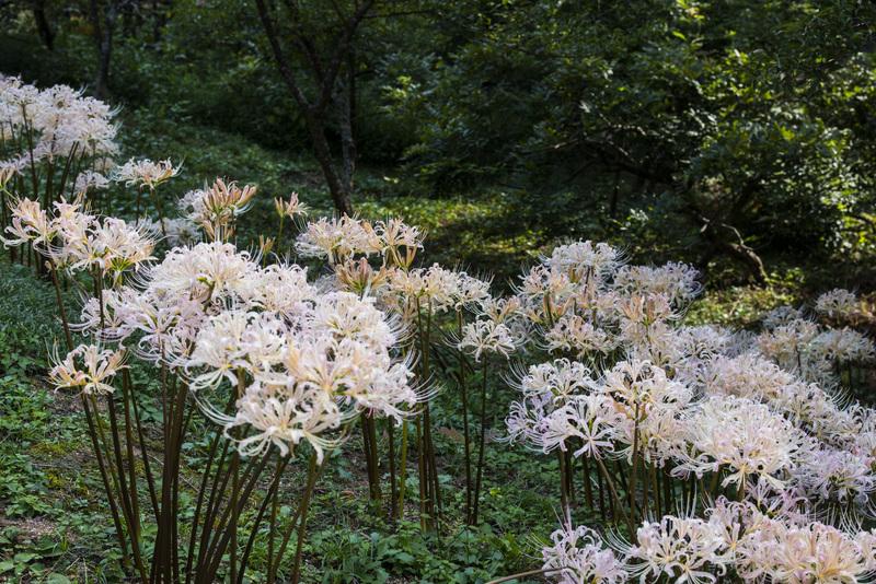今年も みろく公園の 彼岸花を少し_d0246136_21213322.jpg