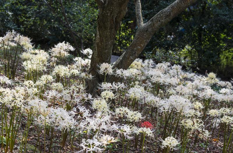 今年も みろく公園の 彼岸花を少し_d0246136_21222355.jpg