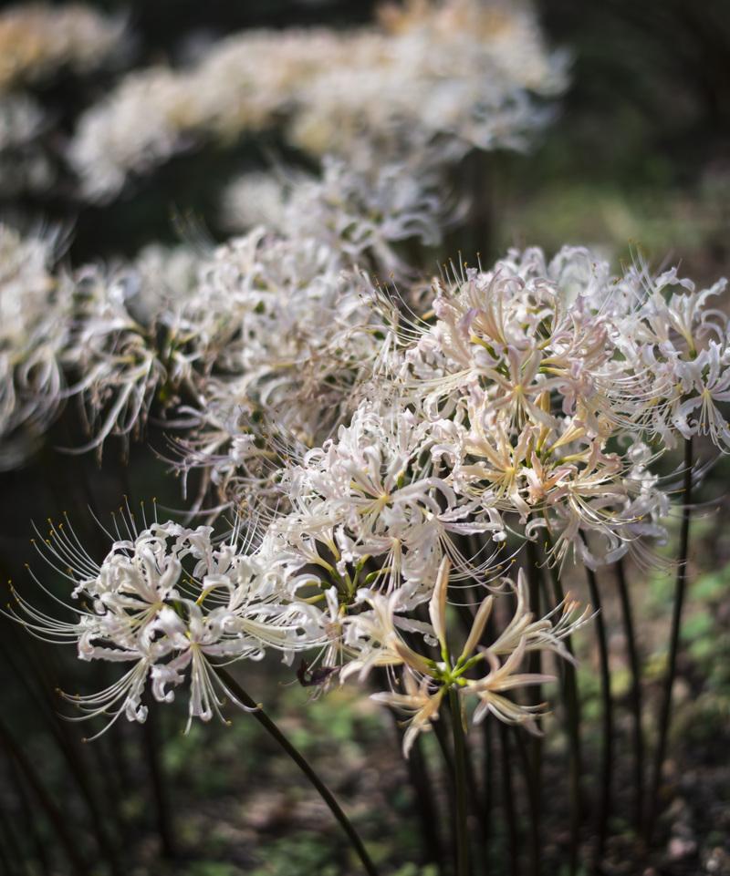 今年も みろく公園の 彼岸花を少し_d0246136_2122481.jpg