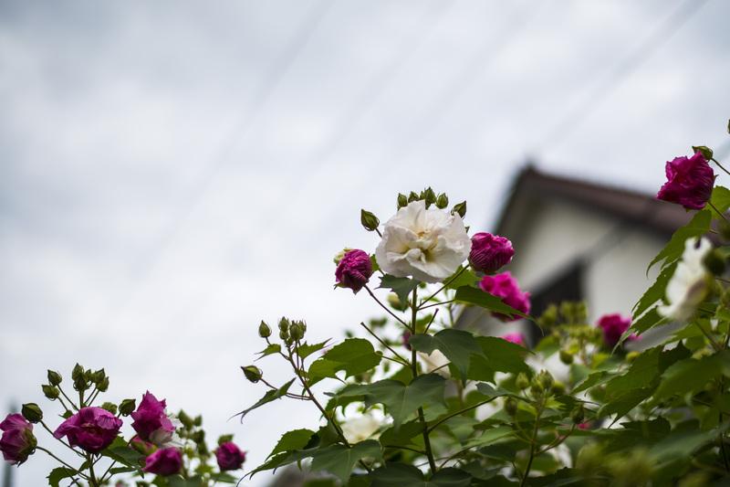 古高松駅 周辺の花を少し_d0246136_21411892.jpg