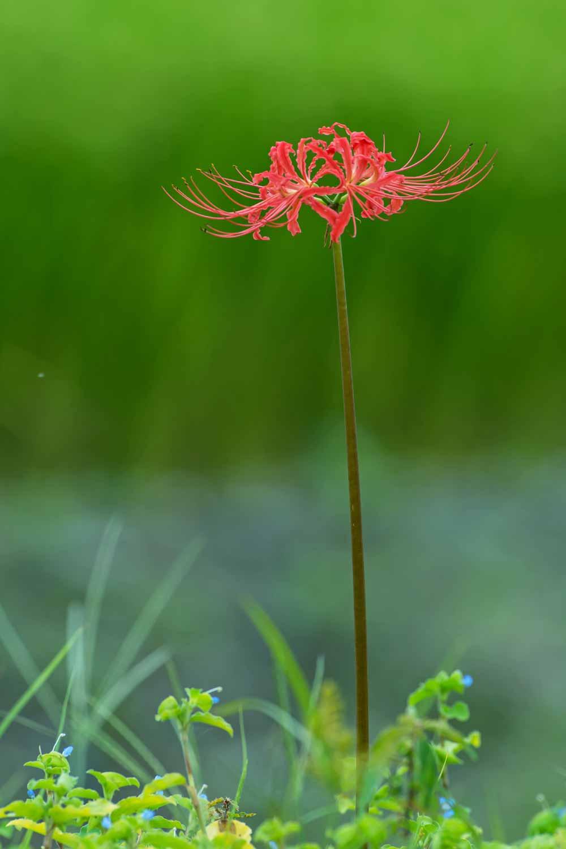 雨の彼岸花②(熊本市)_d0238245_16473344.jpg