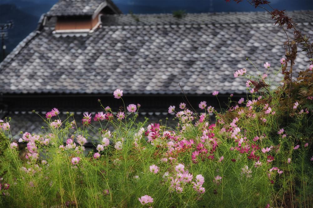 秋桜&彼岸花 2014                           _f0021869_19263277.jpg