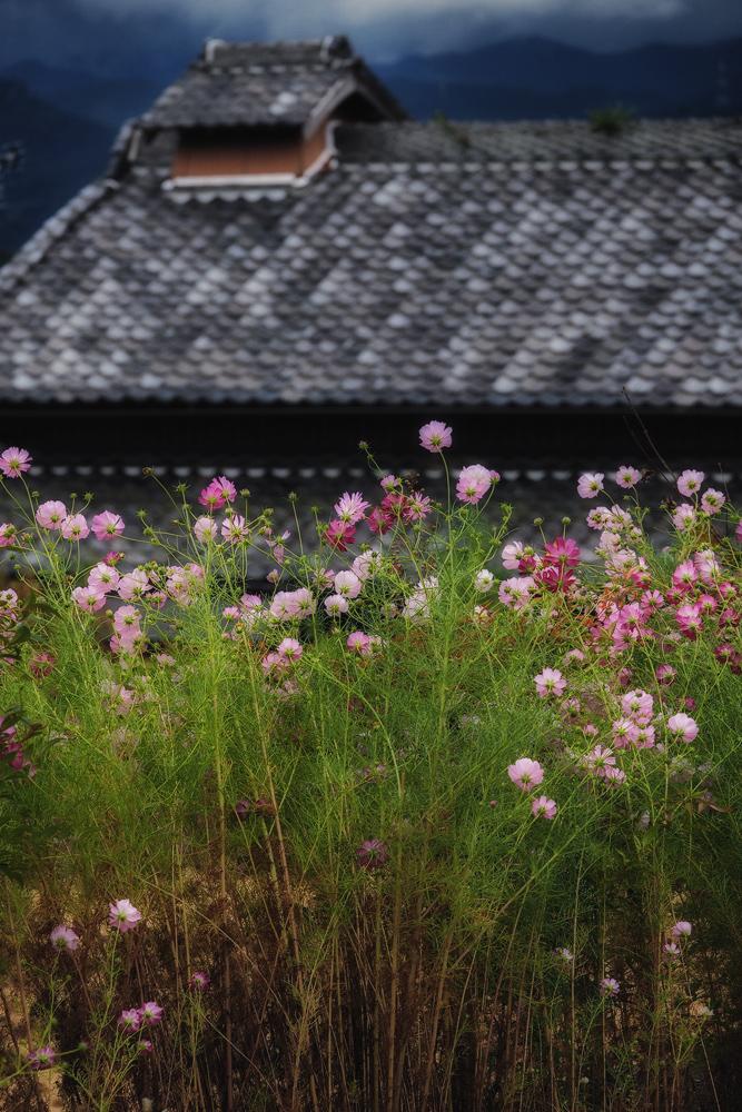 秋桜&彼岸花 2014                           _f0021869_19275136.jpg