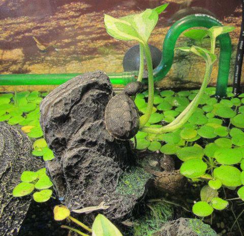 生体、水草販売インチキレイアウト水槽をメンテ_a0193105_2227383.jpg