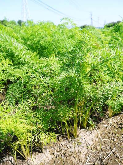 菊池水源里山ニンジン 無農薬・無化学肥料で育てたニンジンを今年も11月下旬より販売します!!_a0254656_1802426.jpg
