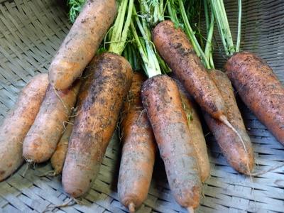 菊池水源里山ニンジン 無農薬・無化学肥料で育てたニンジンを今年も11月下旬より販売します!!_a0254656_1818393.jpg