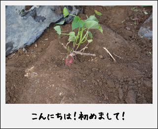 未来は、創るもの。さつまいもは、掘るもの。_c0259934_14422161.jpg