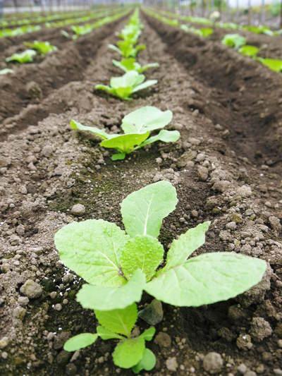 夢白菜 今年も元気な土に定植しました。「大山ファーム」さんの夢ブランドの野菜やスイカの話_a0254656_1723158.jpg