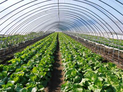 夢白菜 今年も元気な土に定植しました。「大山ファーム」さんの夢ブランドの野菜やスイカの話_a0254656_17291418.jpg