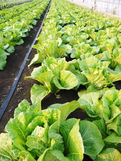 夢白菜 今年も元気な土に定植しました。「大山ファーム」さんの夢ブランドの野菜やスイカの話_a0254656_17342948.jpg