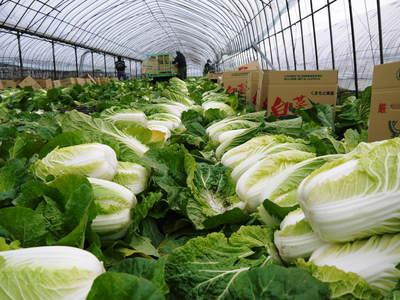 夢白菜 今年も元気な土に定植しました。「大山ファーム」さんの夢ブランドの野菜やスイカの話_a0254656_1750261.jpg