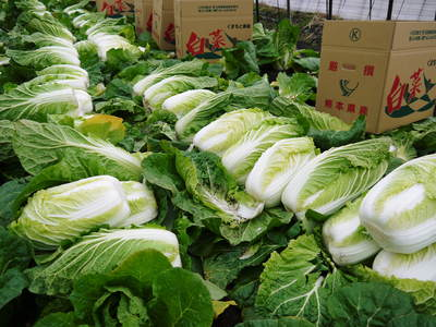 夢白菜 今年も元気な土に定植しました。「大山ファーム」さんの夢ブランドの野菜やスイカの話_a0254656_1753521.jpg