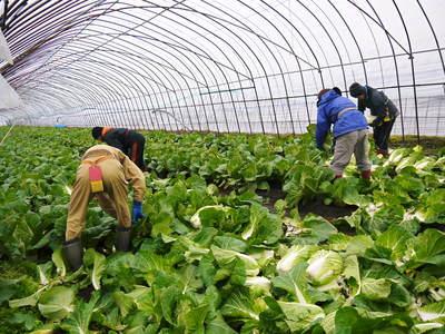 夢白菜 今年も元気な土に定植しました。「大山ファーム」さんの夢ブランドの野菜やスイカの話_a0254656_17574174.jpg