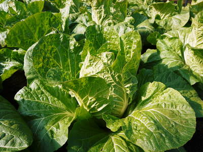 夢白菜 今年も元気な土に定植しました。「大山ファーム」さんの夢ブランドの野菜やスイカの話_a0254656_18115827.jpg