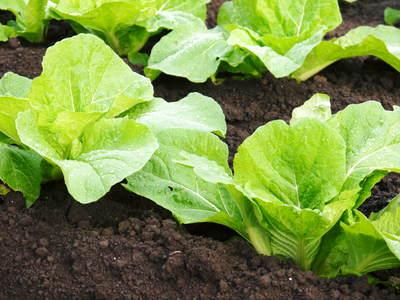 夢白菜 今年も元気な土に定植しました。「大山ファーム」さんの夢ブランドの野菜やスイカの話_a0254656_18434054.jpg