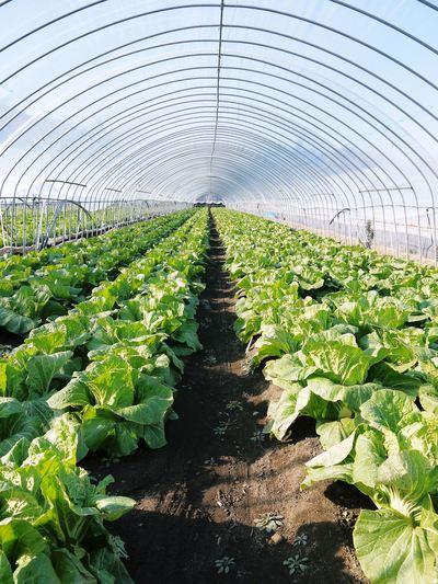 夢白菜 今年も元気な土に定植しました。「大山ファーム」さんの夢ブランドの野菜やスイカの話_a0254656_186177.jpg