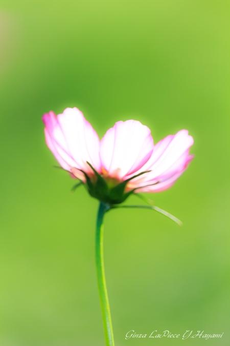 花のある風景 光コスモス_b0133053_124151.jpg