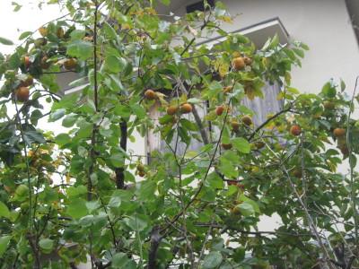 秋の味覚の柿_f0006356_13505363.jpg