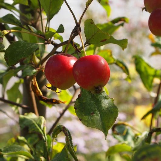 秋のお庭のクラブアップル_a0292194_11375999.jpg
