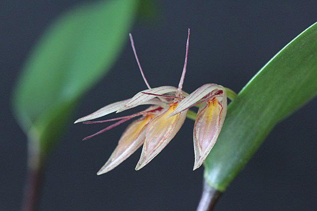 Pleurothallis hemirhoda(プレウロタリス・ヘミルホダ)_d0007501_10514341.jpg