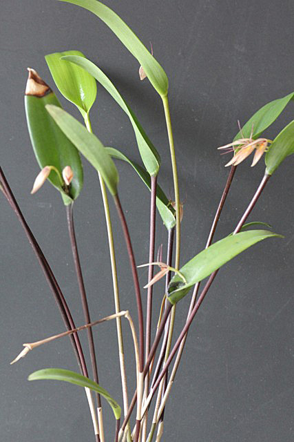 Pleurothallis hemirhoda(プレウロタリス・ヘミルホダ)_d0007501_1052055.jpg