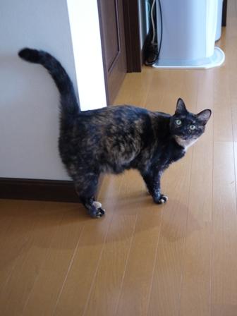 猫のお友だち ワサビちゃん天ちゃんう京くん編。_a0143140_19231444.jpg
