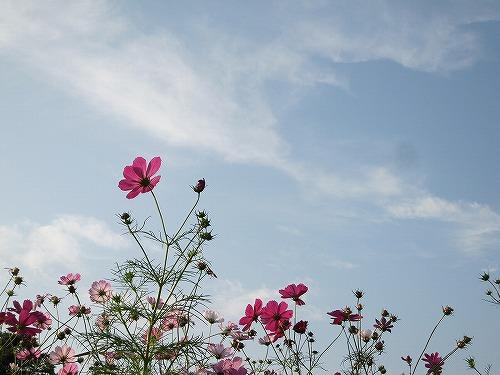 コスモス @昭和記念公園_b0157216_22353965.jpg
