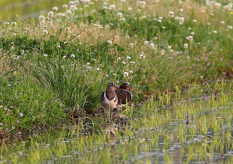 タマシギは、水田、湿地、休耕田などで生息_b0346933_6291567.jpg