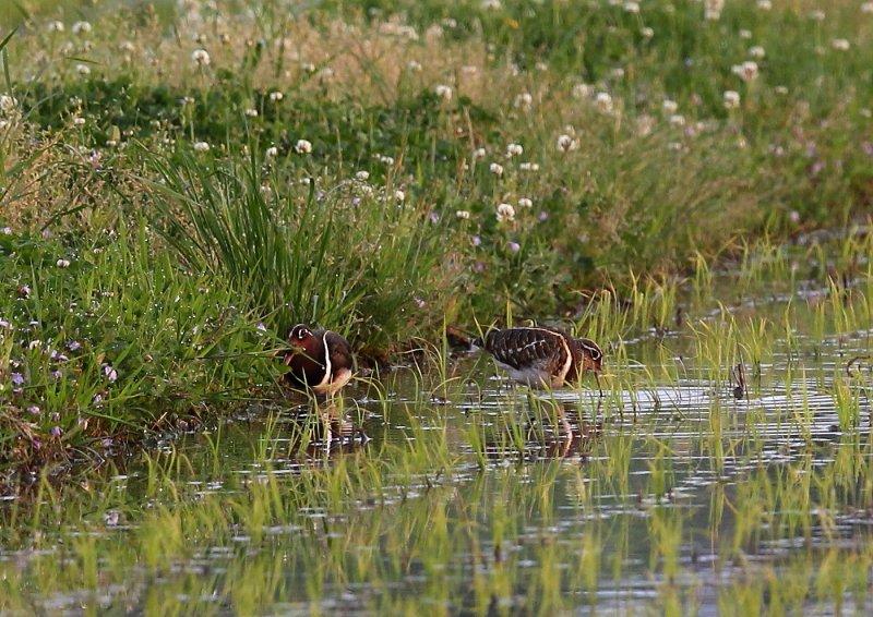 タマシギは、水田、湿地、休耕田などで生息_b0346933_6292280.jpg