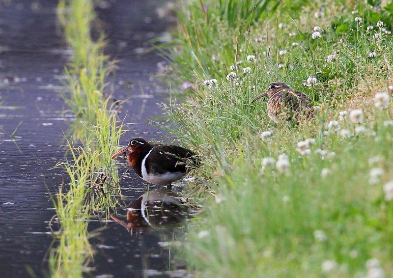 タマシギは、水田、湿地、休耕田などで生息_b0346933_629728.jpg