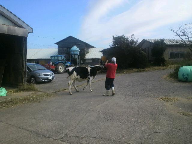 「共進会出品牛の調教」_e0063268_9591225.jpg