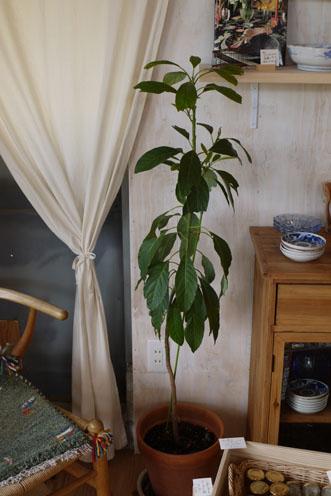 コスモス&アボカドの木たち_c0334574_18595992.jpg