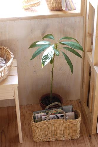 コスモス&アボカドの木たち_c0334574_1905799.jpg