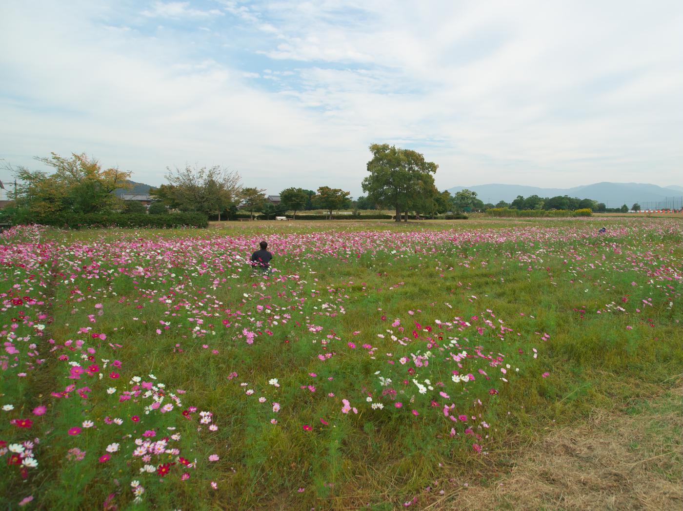 藤原宮跡の秋桜は?_b0161171_07550284.jpg