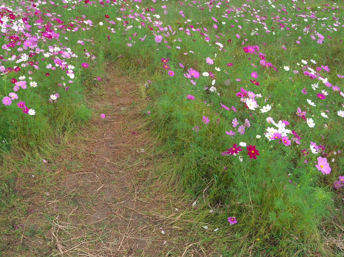 藤原宮跡の秋桜は?_b0161171_07553803.jpg