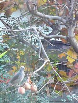 隣の客はよく柿食う鳥だ_c0340785_15263958.jpg