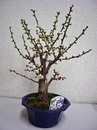 梅は咲いたか_c0340785_15264433.jpg