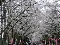 桜まつり_c0340785_15265697.jpg