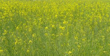 菜の花畑を歩く_c0340785_15280254.jpg