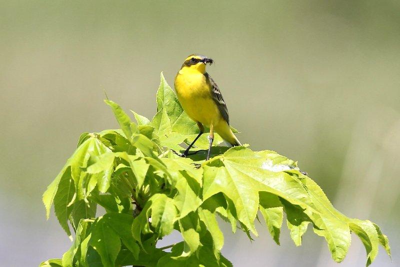北海道北部では夏鳥として繁殖する_b0346933_5484684.jpg