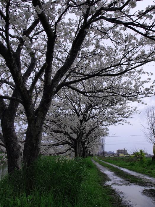 雨の糸島桜_f0315034_00290992.jpg