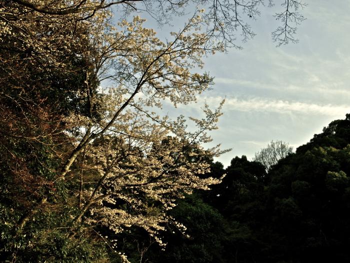 山桜_f0315034_08475910.jpg