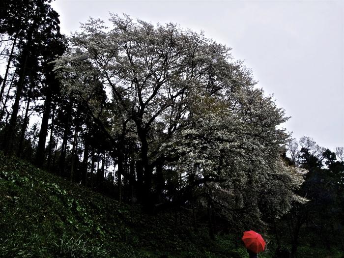 雨の糸島桜_f0315034_09160957.jpg