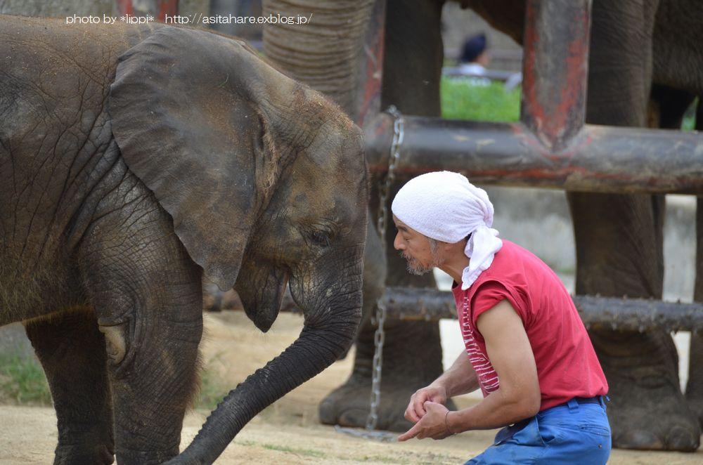 アフリカゾウの砥愛(とあ)ちゃんの成長_b0024758_236532.jpg