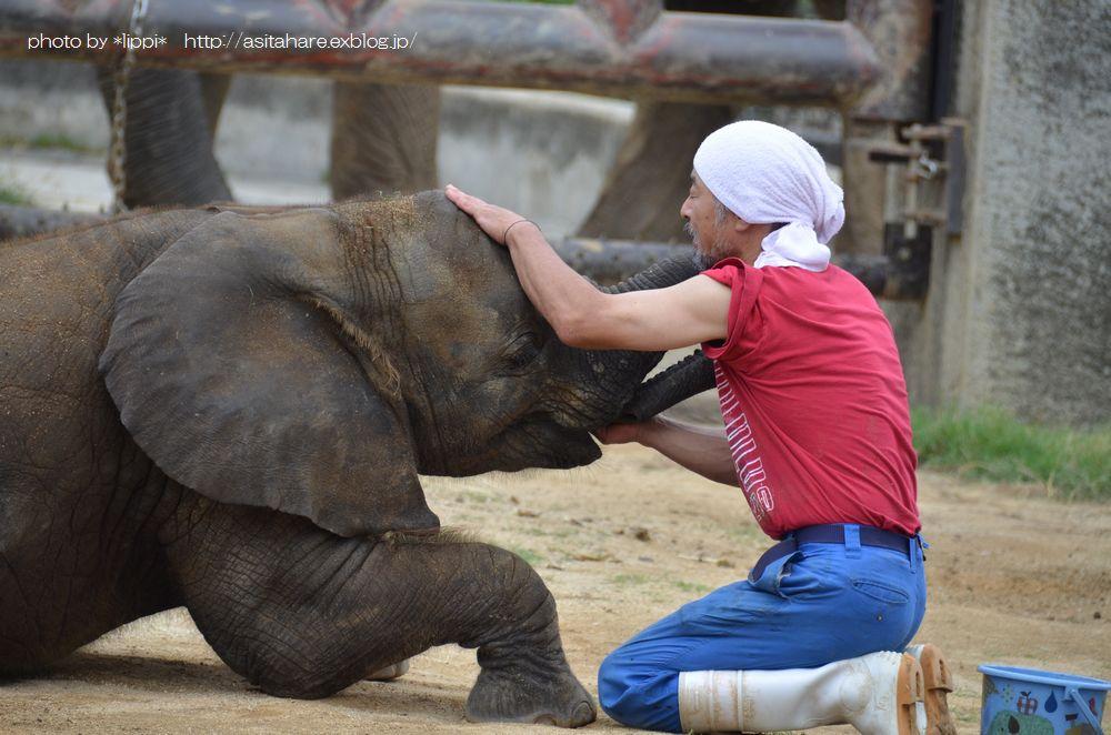 アフリカゾウの砥愛(とあ)ちゃんの成長_b0024758_2385971.jpg