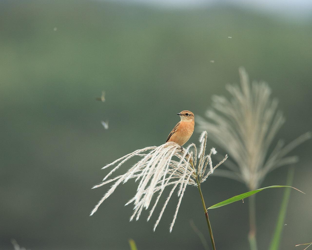 秋の季節感たっぷりのノビタキ_f0105570_22155535.jpg