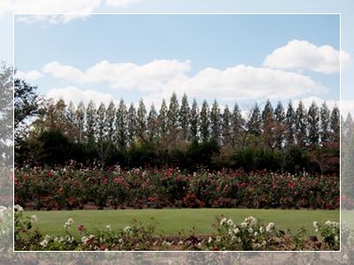 秋のバラ園_c0026824_1641322.jpg