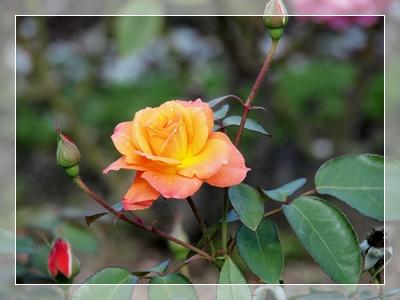 秋のバラ園_c0026824_16414356.jpg