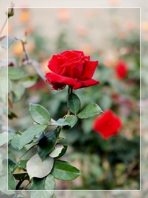 秋のバラ園_c0026824_16545460.jpg