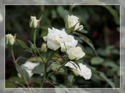 秋のバラ園_c0026824_16552159.jpg